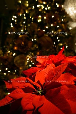 ポインセチアとクリスマスツリーの写真素材 [FYI00145487]