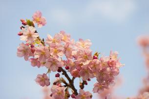 河津桜の素材 [FYI00145507]