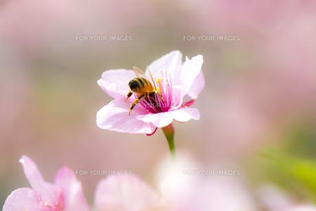 桜のダイビングの写真素材 [FYI00145508]