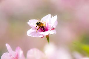 桜のダイビングの素材 [FYI00145508]