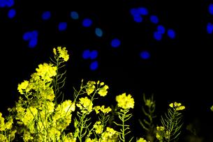 夜の菜の花と川に浮かぶ青いライトの素材 [FYI00145510]