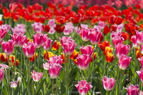 太陽に輝く鮮やかなピンクのチューリップの素材 [FYI00145513]