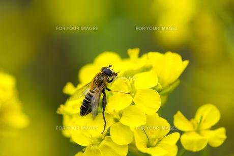 ハナアブと菜の花の写真素材 [FYI00145514]