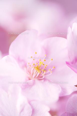 河津桜の素材 [FYI00145518]