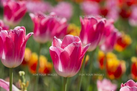 太陽に輝く鮮やかなピンクのチューリップの素材 [FYI00145533]