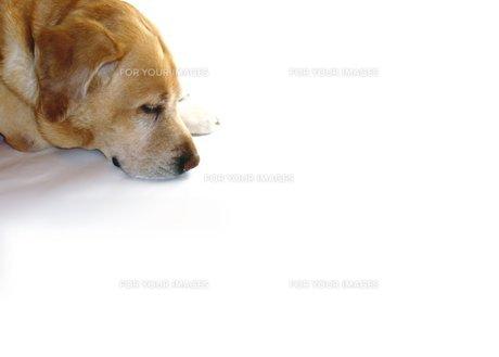 気持ちよく寝る犬の素材 [FYI00145614]