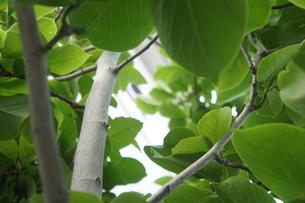 モクレンの葉の写真素材 [FYI00145650]