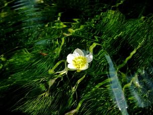 涼しげな花の写真素材 [FYI00145673]