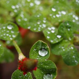 クロバーと雨の写真素材 [FYI00145687]