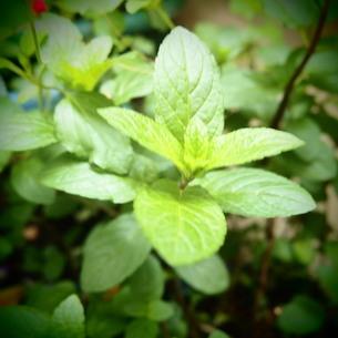 ペパーミントの葉の写真素材 [FYI00145749]