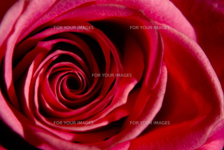薔薇の写真素材 [FYI00145812]