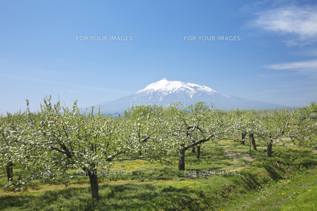 リンゴの花と岩木山の素材 [FYI00145826]
