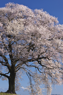 王仁塚の桜の素材 [FYI00145845]