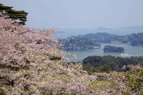 松島 桜の写真素材 [FYI00145914]