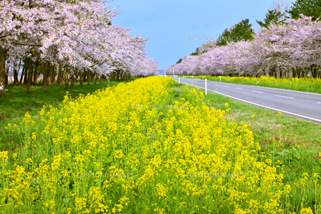 秋田 大潟村 菜の花ロードの素材 [FYI00146437]