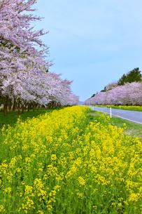 秋田 大潟村 菜の花ロードの素材 [FYI00146451]