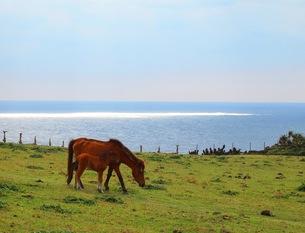 光る海と与那国馬の写真素材 [FYI00146601]