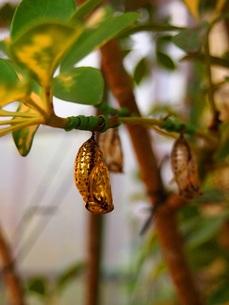 オオゴマダラの黄金のサナギの写真素材 [FYI00146607]