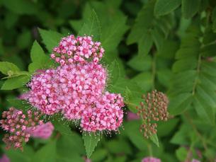 シモツケの花の写真素材 [FYI00146609]