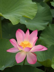 蓮の花の写真素材 [FYI00146625]