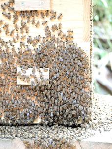 ニホンミツバチの写真素材 [FYI00146636]