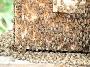 ニホンミツバチの写真素材 [FYI00146650]