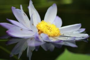 水面に写る花の素材 [FYI00146743]