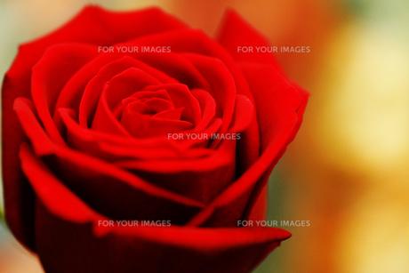 赤い薔薇の素材 [FYI00146773]