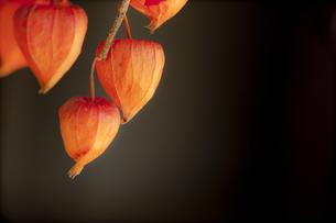 秋のホオズキの写真素材 [FYI00146898]