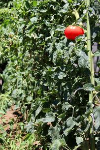 畑のトマトの写真素材 [FYI00146996]