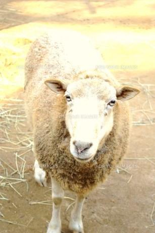 問う羊の写真素材 [FYI00147061]
