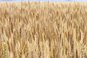 麦畑の写真素材 [FYI00147133]