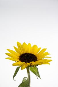 Sunflowersの写真素材 [FYI00147157]