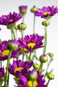 小菊の写真素材 [FYI00147160]