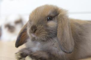 Lop eared rabbitの写真素材 [FYI00147165]