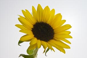 Sunflowersの写真素材 [FYI00147168]