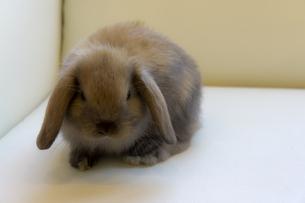 Lop eared rabbitの写真素材 [FYI00147170]