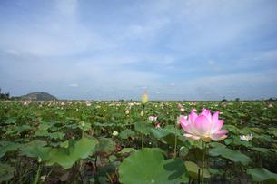 Lotusの写真素材 [FYI00147181]
