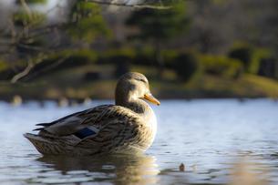 鴨の写真素材 [FYI00147256]