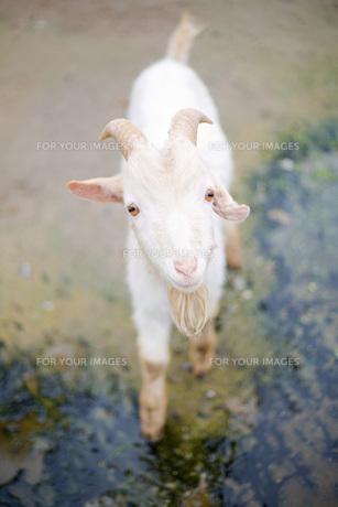 ヤギの写真素材 [FYI00147299]