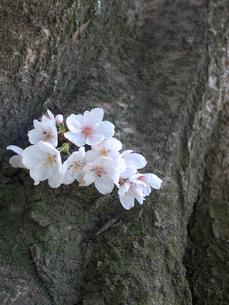 根元の桜の写真素材 [FYI00147305]