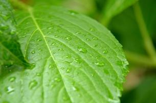 梅雨香る紫陽花の葉の写真素材 [FYI00147335]