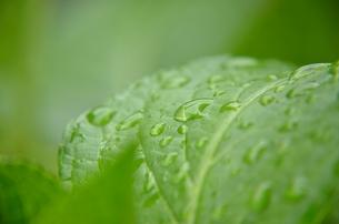 梅雨香る紫陽花の葉の写真素材 [FYI00147337]