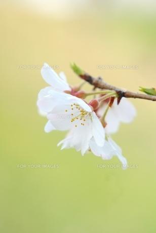 枝先の桜の写真素材 [FYI00147370]