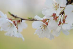 しなやかな桜の写真素材 [FYI00147382]
