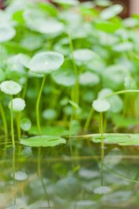 水辺の草の写真素材 [FYI00147433]