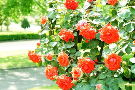 赤い薔薇のアーチの素材 [FYI00147515]