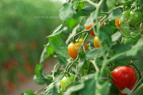 ミニトマト畑の素材 [FYI00147578]