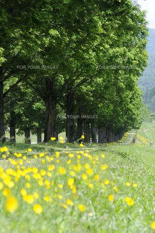 初夏のメタセコイア並木の写真素材 [FYI00147602]