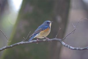 青い小鳥の素材 [FYI00147618]